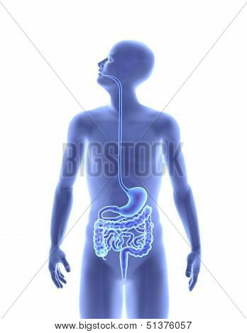 The human body - Digestive system