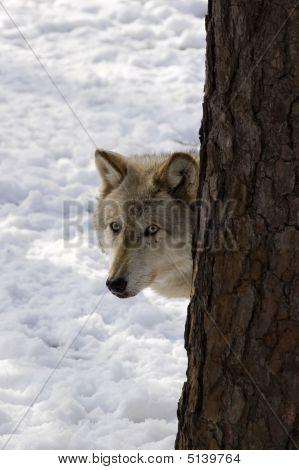 Timber Wolf Iii