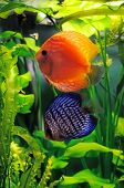 foto of diskus  - Orange and blue discus fish in the aquarium - JPG
