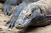 image of komodo dragon  - The Komodo dragon also known as the Komodo monitor