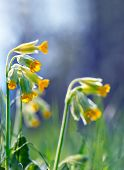 picture of cowslip  - Close up of cowslip or primula veris one of the wild flowers in the scandinavian spring flora on blue sky - JPG