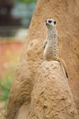 pic of meerkats  - Portraits of meerkats or Suricata suricatta - JPG