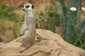 stock photo of meerkats  - Portraits of meerkats or Suricata suricatta. Meerkat family in Cordoba Spain