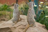 pic of meerkats  - Portraits of meerkats or Suricata suricatta. Meerkat family in zoo Cordoba Spain