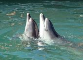 picture of bottlenose dolphin  - dance of two bottlenose dolphins Tursiops truncatus in the open dolphinarium - JPG