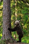 image of bear cub  - Brown Bear Cub standing in the forest