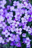 pic of violet flower  - violet flowers in the garden with green leaves - JPG