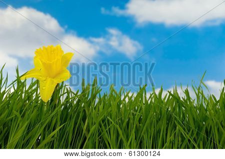 Daffodil with water drops in green grass with a blue and cloudy sky in the background.