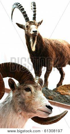 Sheep bighorn