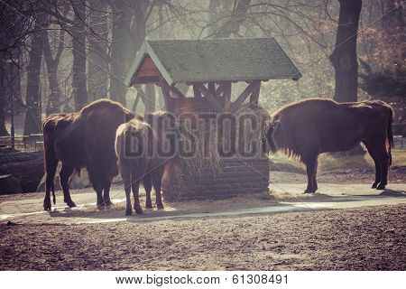 Herd Of Bisons In National Park.