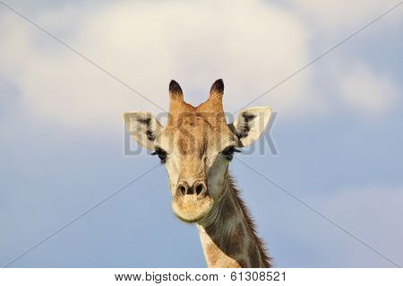Giraffe - Wildlife Background from Africa - Beautiful Animal