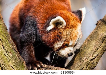 Red Panda (ailurus Fulgens) Sitting In A Tree At A Zoo.