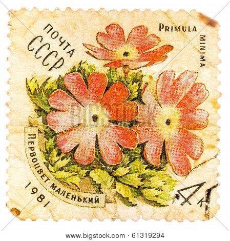 Stamp Printed In Ussr Shows A Primula Minima