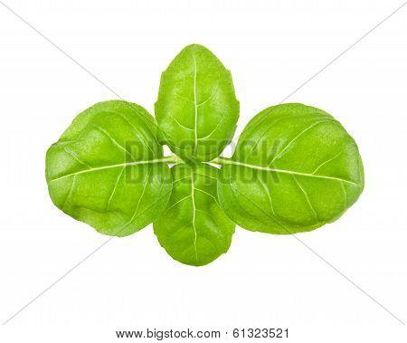 Fresh Leaves Of Basil