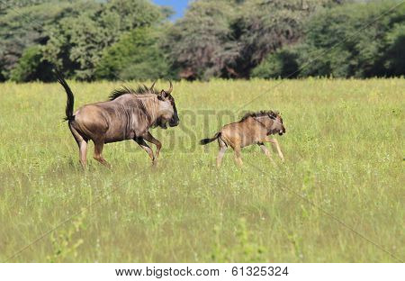 Blue Wildebeest - Wildlife Background from Africa - Run of the Wild