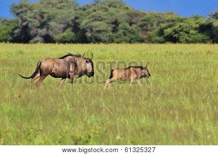 Blue Wildebeest - Wildlife Background from Africa -