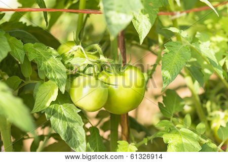 Closeup the Green tomatoes is Agriculture concept.