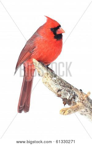 Male Cardinal Isolated On White