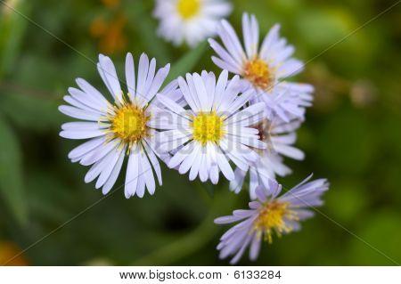 Autumn Perennial Aster Flowers.