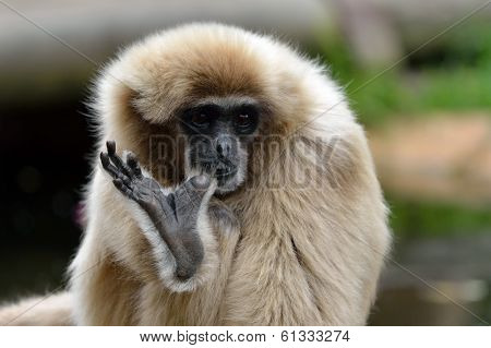 White Handed Gibbon