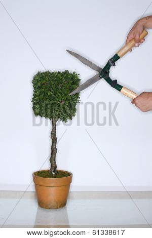 Trimming a topiary plant with shears