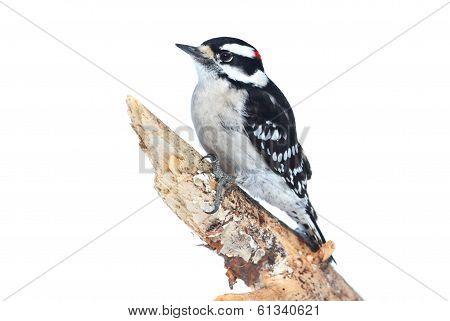 Downy Woodpecker (picoides Pubescens)