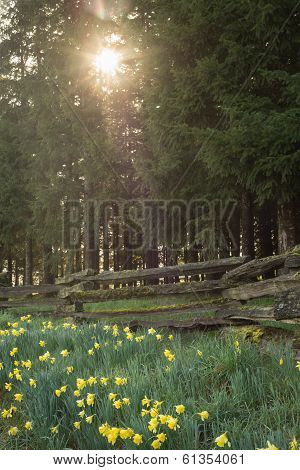 Sunny Woods Daffodils