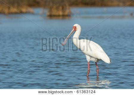 African Spoonbill With Water Dripping From Its Bill