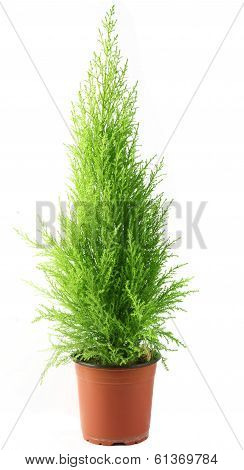 Domestic cypress isolated over white