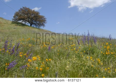 Wild Flowers On Hill With Oak Tree.