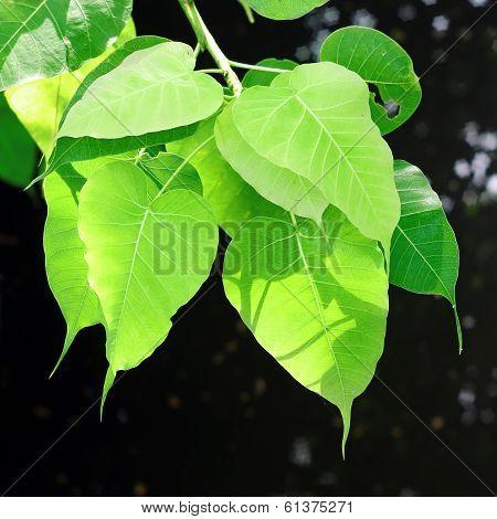 Peepul Leaf