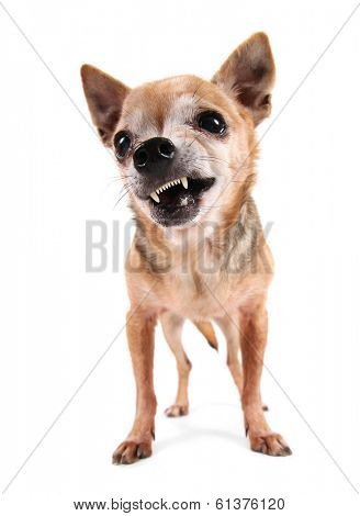 a cute chihuahua on an isolated white background studio shot
