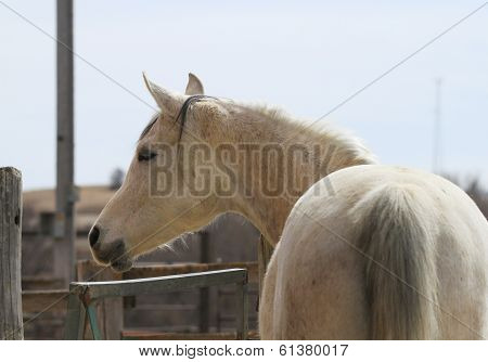 Arabian Horse with in pasture
