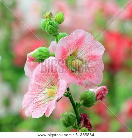 Hollyhock Or Althaea Flower
