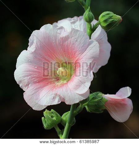 Hollyhock Flower Or Althaea