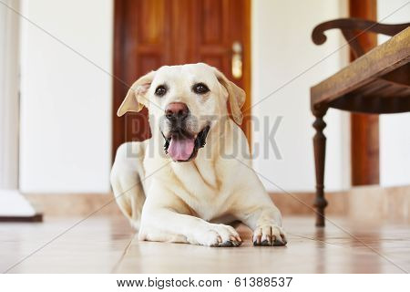 Dog At Home