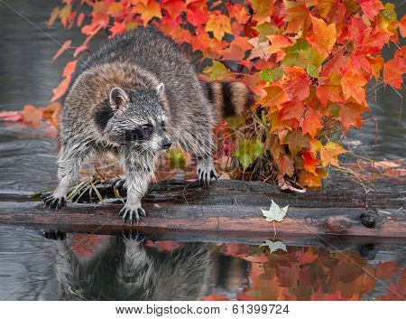 Raccoon (Procyon lotor) Looks Right Atop Log