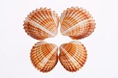 picture of mollusca  - some of seashells isolated on white background - JPG