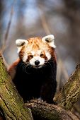 image of nepali  - Red Panda  - JPG