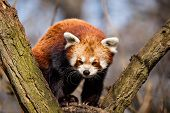 picture of nepali  - Red Panda  - JPG