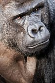 picture of face-fungus  - Face portrait of a gorilla male in Berlin zoo - JPG