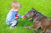 image of staffordshire-terrier  - Cute boy regales to a dog apple sitting on the lawn - JPG