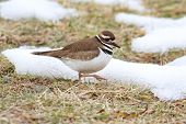 picture of killdeer  - Killdeer  - JPG