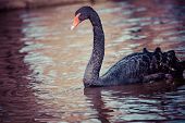 picture of black swan  - Swimming two black swans in Berlin park - JPG