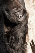 picture of face-fungus  - Portrait of a gorilla male in european zoo