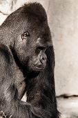 picture of face-fungus  - Portrait of a gorilla male in Berlin zoo
