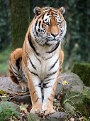 stock photo of tigers-eye  - A portrait of a tiger sitting on a rock - JPG