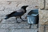 stock photo of trough  - gray crow at a trough with water on the sidewalk
