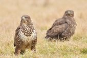 stock photo of buzzard  - Common buzzard wild birds nature photo  - JPG