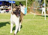 foto of pinto  - A front view of a sable white and brown pinto American Akita dog running on the grass distinctive for its plush tail that curls over his back and for the black mask - JPG